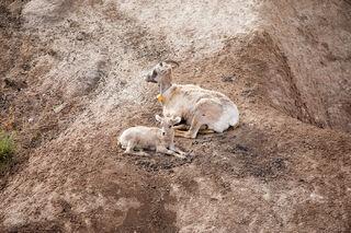 Goats Badlands National Park