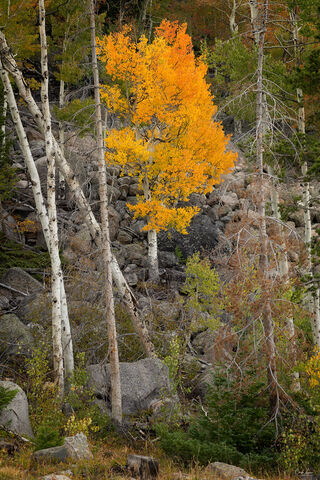 Aspen tree in Rocky Mountains National Park during fall season in Colorado.