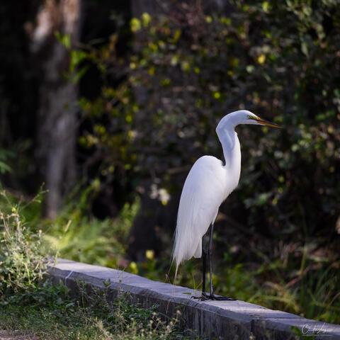 View of great egret in Everglades National Park in Florida.