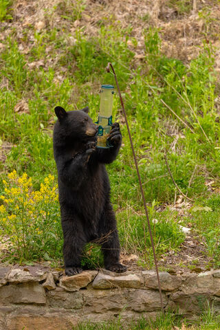 View of black bear feeding from a bird feeder in Pennsylvania.