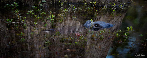 View of American Alligator in Everglades National Park in Florida.