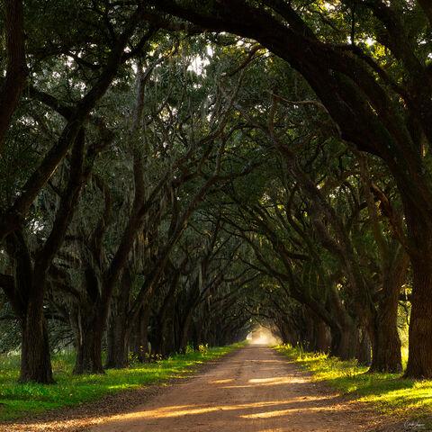 Oak Tree Plantation in Louisiana.
