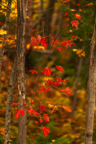 A close-up of red leaves in Chittenden in Vermont.