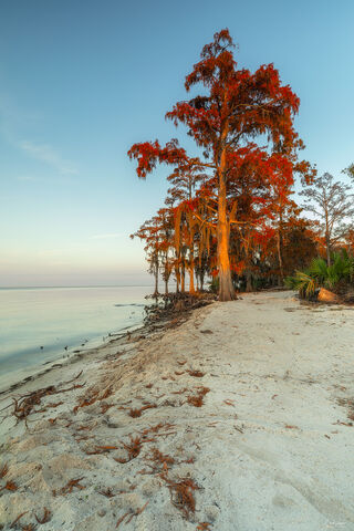 View of Cypress trees at sunrise at Fontainebleu State Park in Louisiana.
