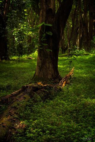 Forest foliage near Hoopii Falls in Kauai, Hawaii.