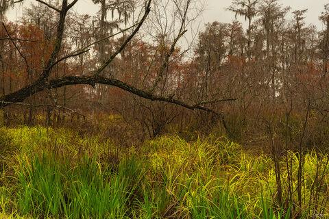 Swampland at Lake Martin in Louisiana.