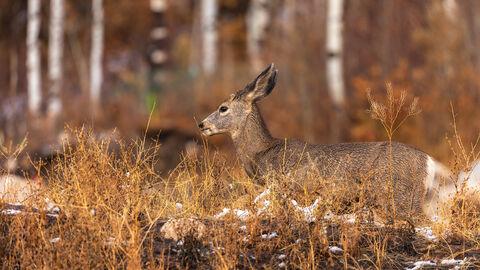 View of wild deer near Aspen in Colorado.