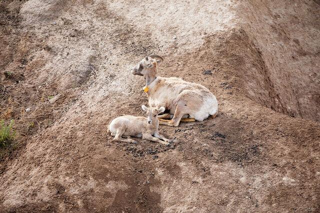 Goats Badlands National Park print