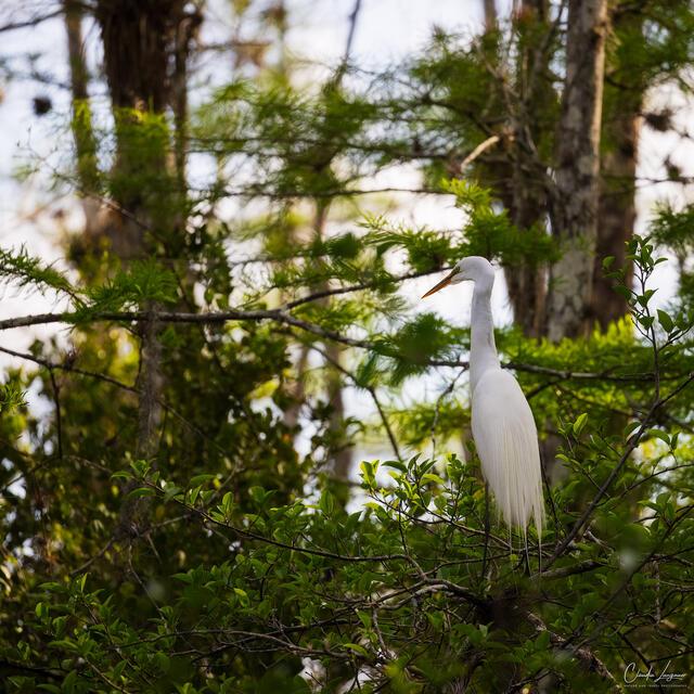 Great Egret In Tree print