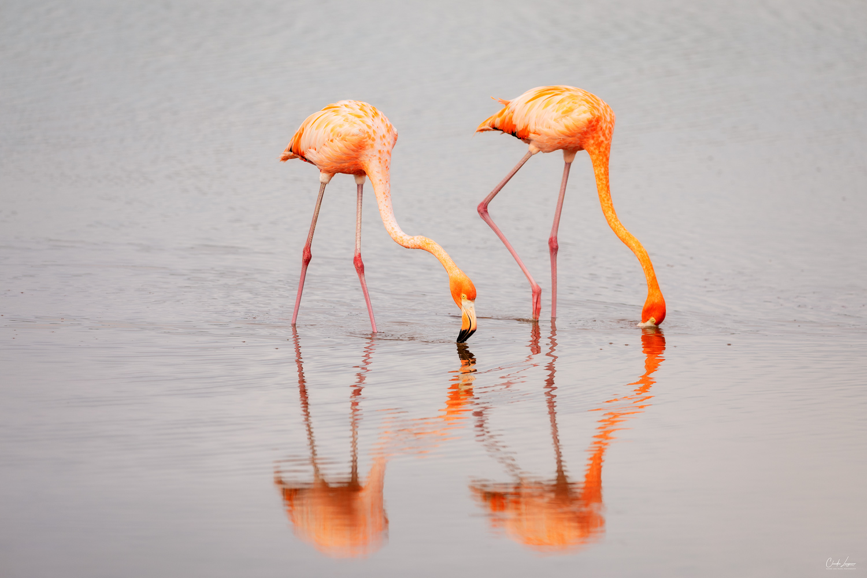 View of Flamingos in Celestun in Mexico.