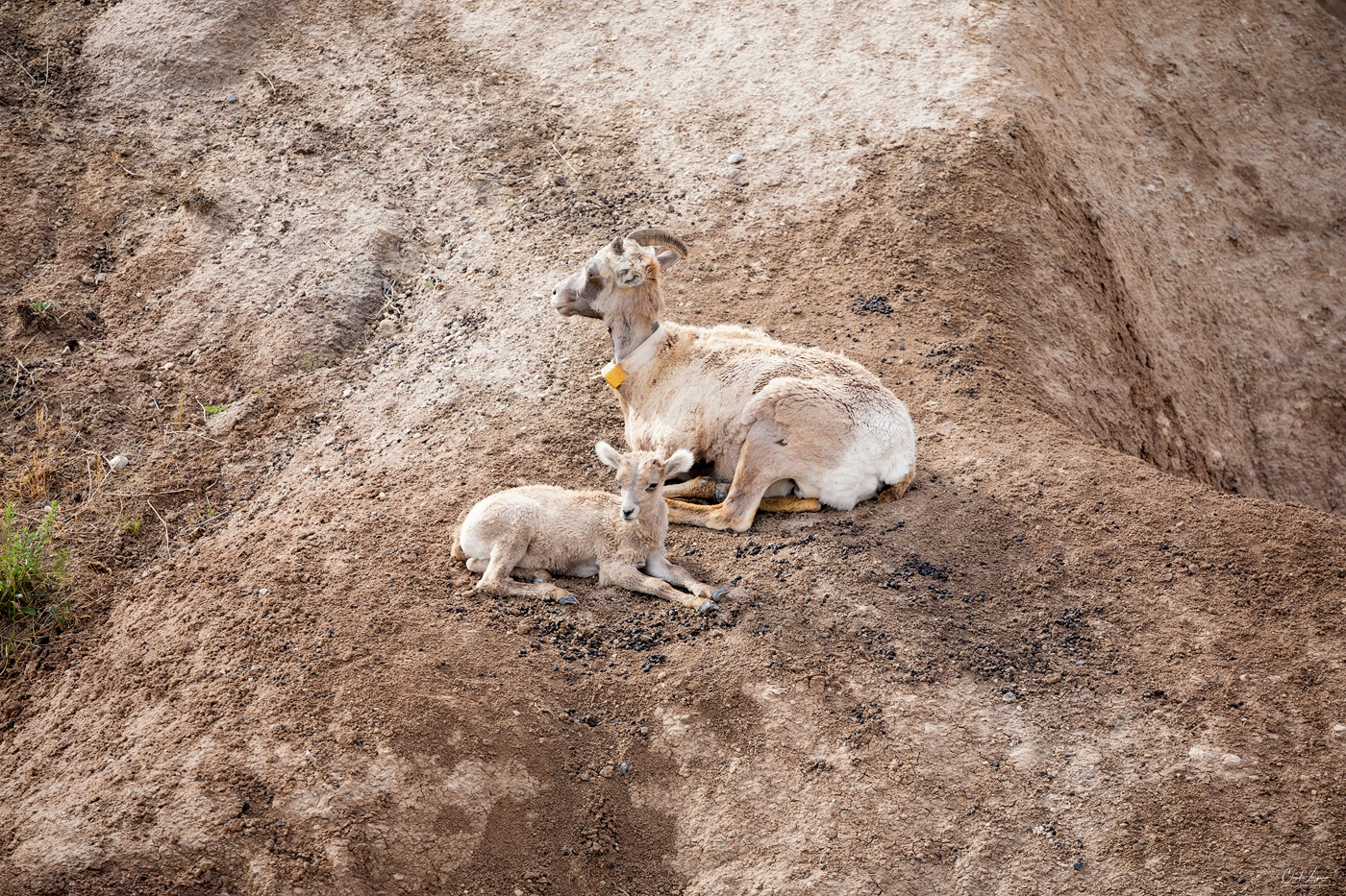 View of goats in Badlands National Park in South Dakota.