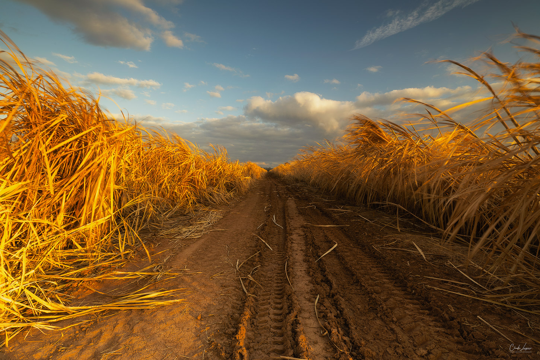 Sugar field near Lettsworth in Louisiana.