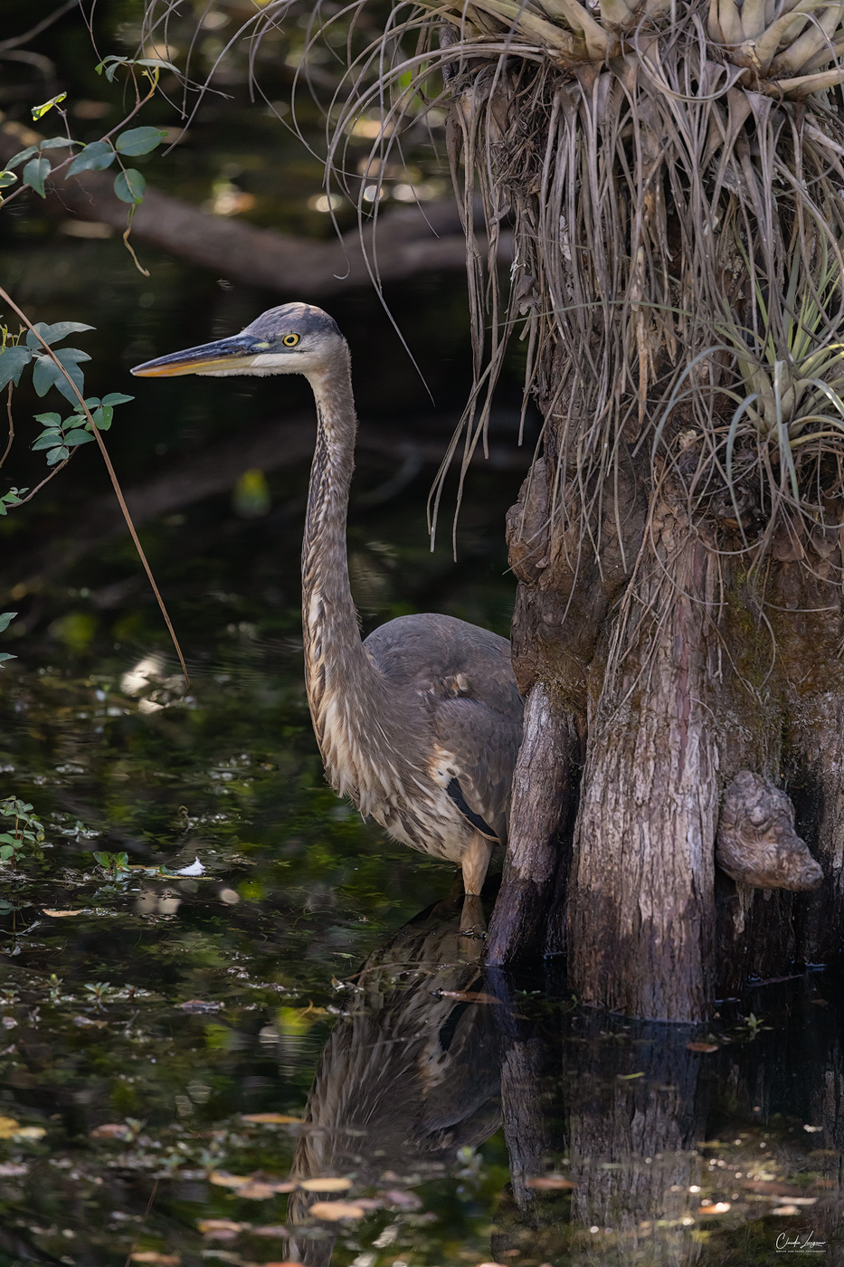 View of Gray Heron in Everglades National Park in Florida.