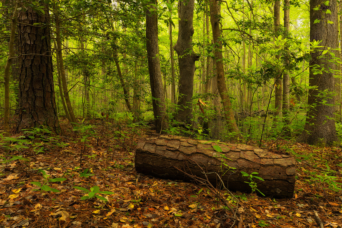 Forest scene in First Landing State Park in Virginia.