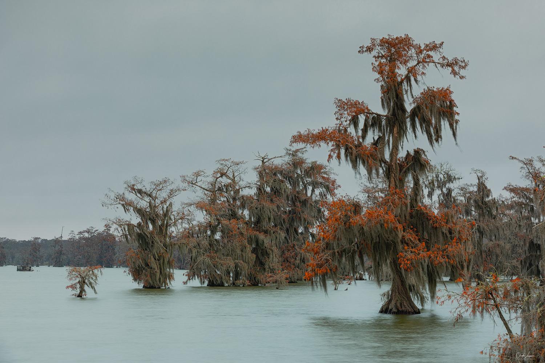 View Cypress trees at Lake Martin in Louisiana.