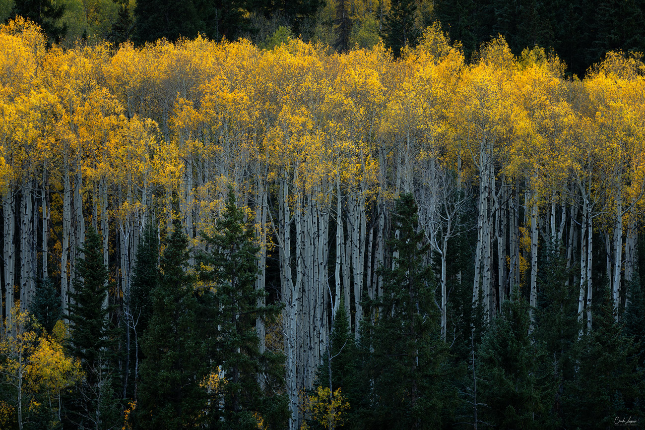 View of yellow Aspen trees near the town of Ashcroft in Colorado.